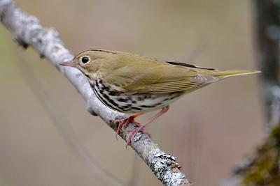Ovenbird - Dunning Lake, MN - 02