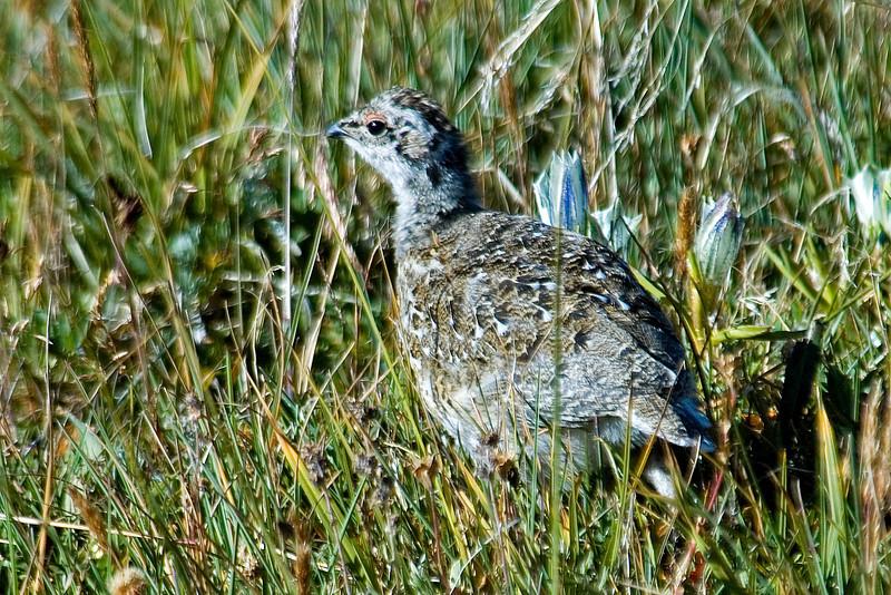 Ptarmigan - White-tailed - juvenile male - Rocky Mountain National Park, CO