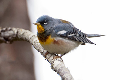 Parula - Northern - Ballclub Lake - Itasca County, MN