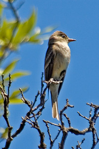 Pewee - Western Wood - Carr Canyon, AZ