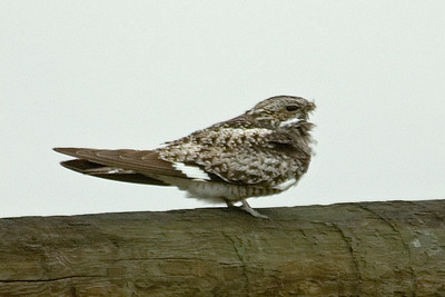 Nighthawk - Common - Pawnee National Grasslands, CO