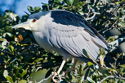 Night-Heron - Black-crowned - St. Augustine Alligator Farm, FL - 01