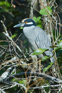 Night-Heron - Yellow-crowned - Corkscrew Swamp, FL - 01