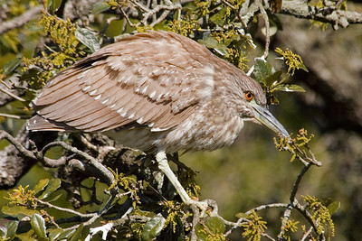 Night-Heron - Black-crowned - juvenile - St. Augustine Alligator Farm, FL