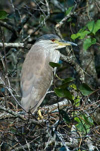 Night-Heron - Black-crowned - Corkscrew Swamp, FL
