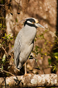 Night-Heron - Yellow-crowned - Wakulla Springs State Park, FL