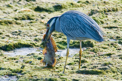 Night-Heron - Yellow-crowned - Ding Darling NWR - Sanibel, FL - 01