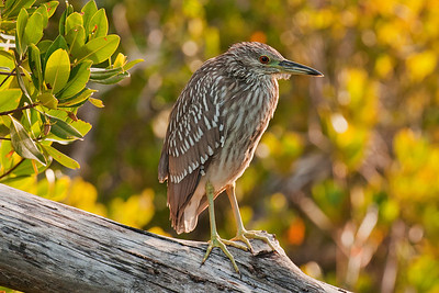 Night-Heron - Black-crowned - juvenile - Ding Darling NWR - Sanibel Island, FL