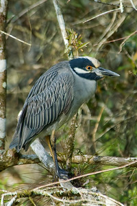 Night-Heron - Yellow-crowned - Corkscrew Swamp, FL - 02