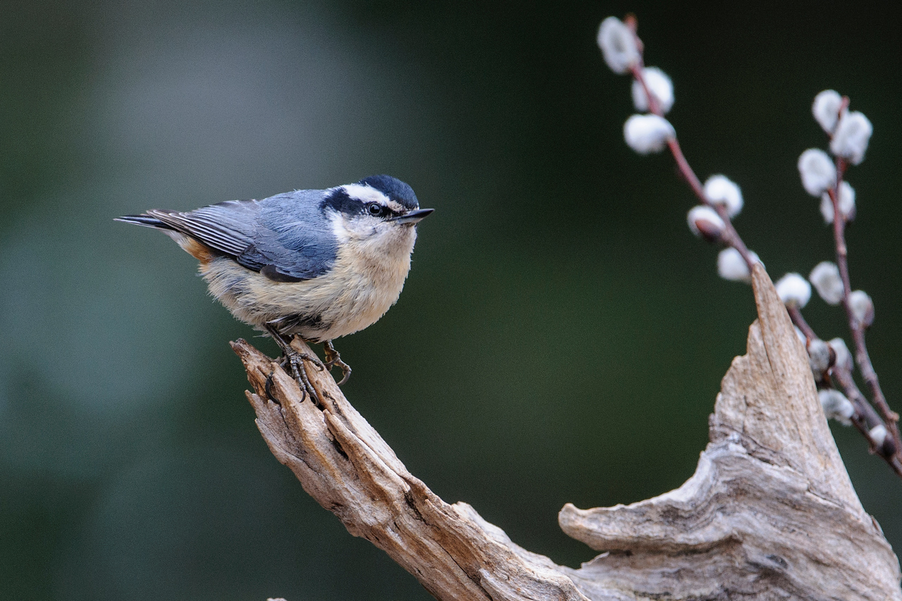 Nuthatch - Red-breasted - male - Dunning Lake - Itasca County, MN