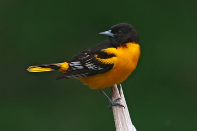 Oriole - Baltimore - male - Dunning Lake, MN - 18