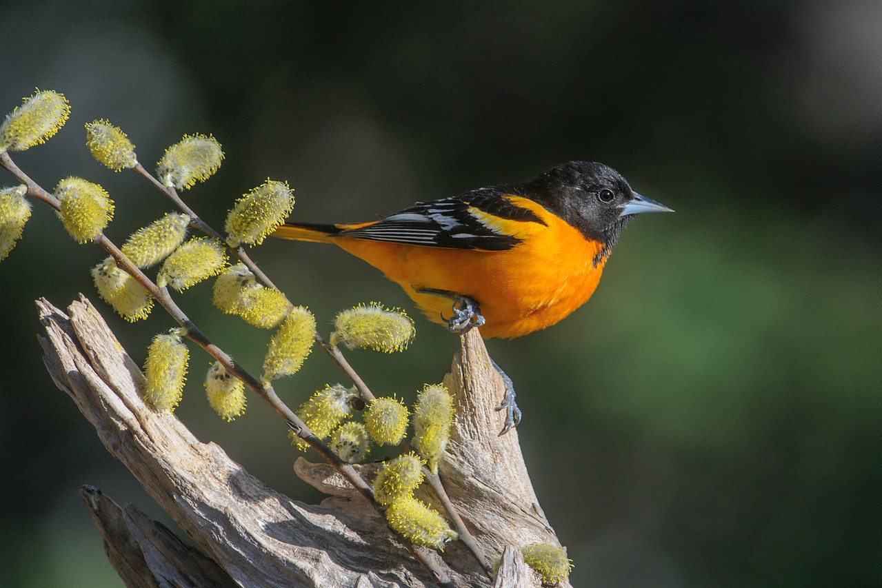 Oriole - Baltimore  -male - Dunning Lake - Itasca County, MN