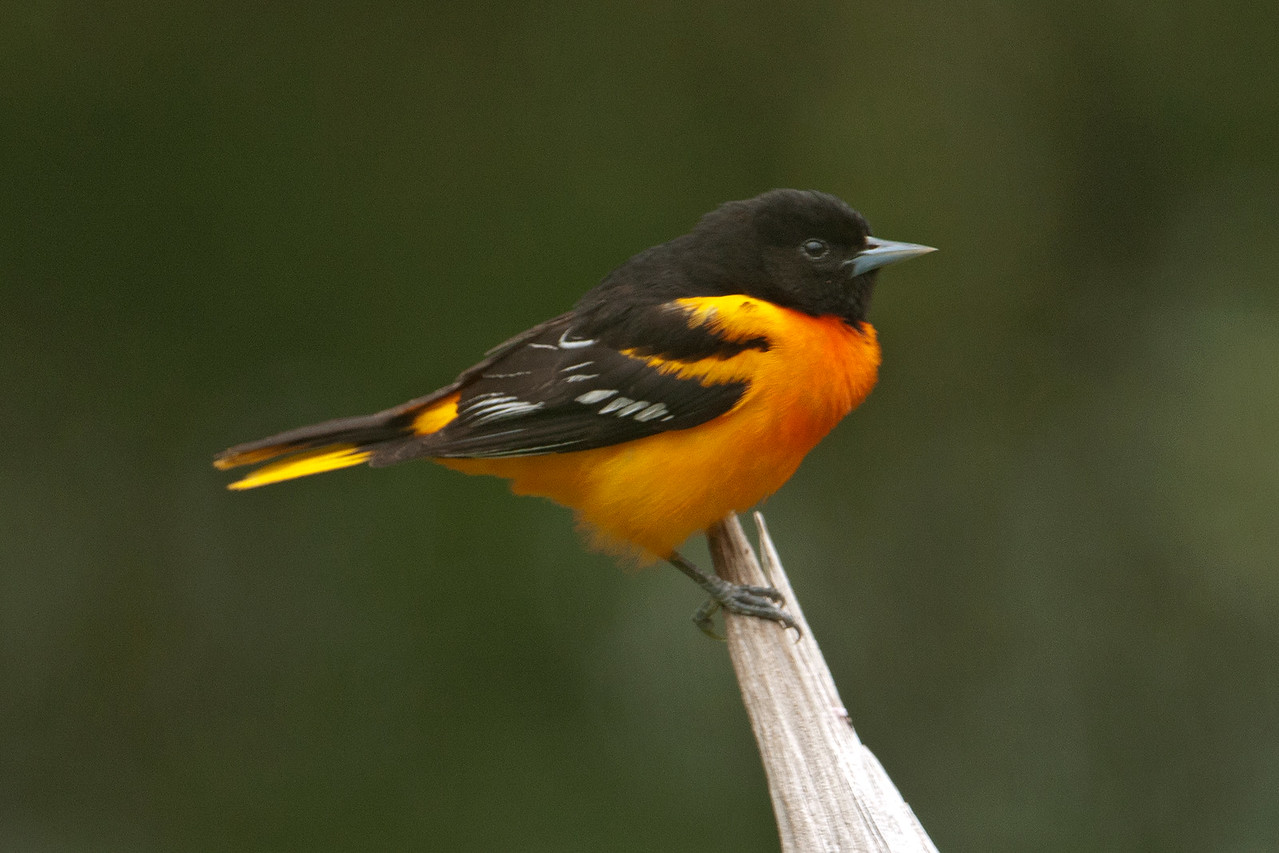 Oriole - Baltimore - male - Dunning Lake, MN - 15