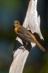 Oriole - Baltimore - female - Dunning Lake, MN - 04