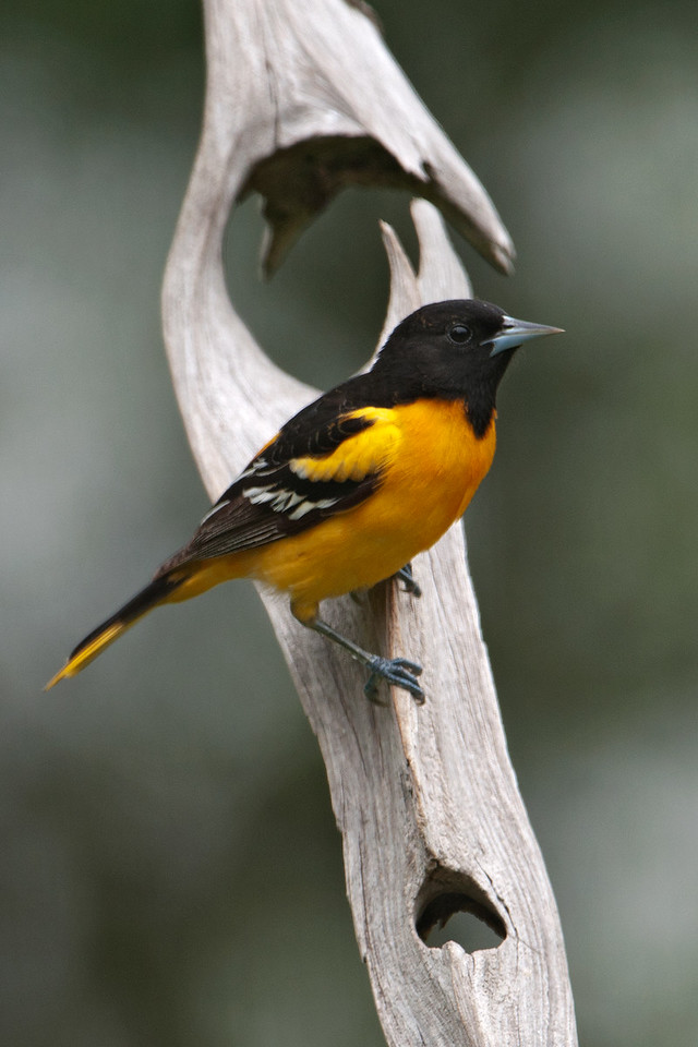 Oriole - Baltimore - male - Dunning Lake, MN - 11
