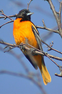 Oriole - Baltimore - male - Dunning Lake, MN - 01