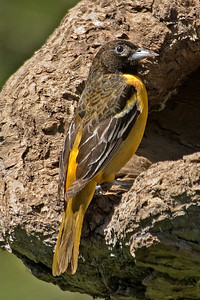 Oriole - Baltimore - female - Dunning Lake, MN - 03