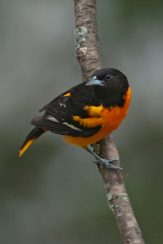 Oriole - Baltimore - male - Dunning Lake, MN - 13