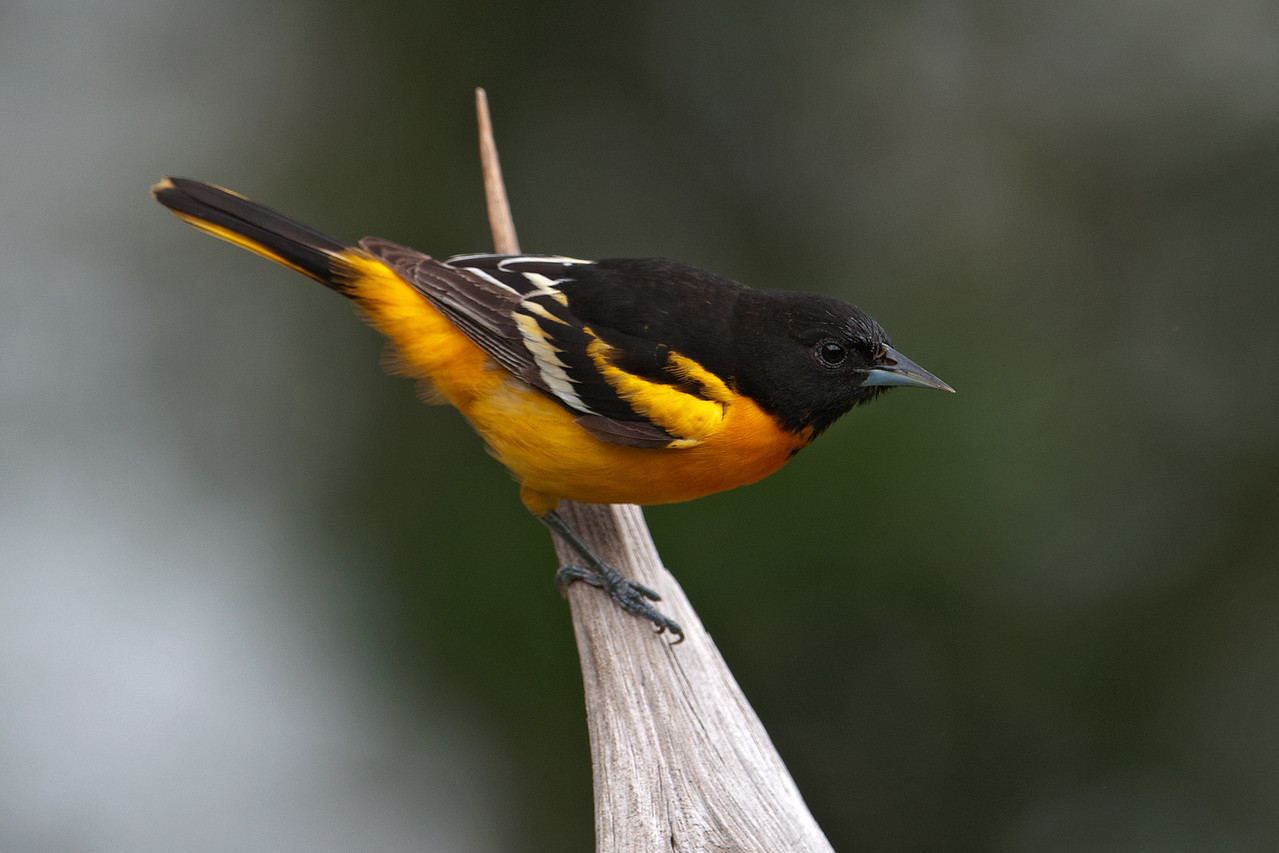 Oriole - Baltimore - male - Dunning Lake, MN - 14