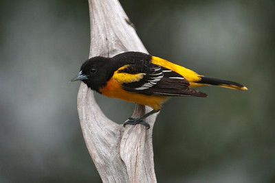 Oriole - Baltimore - male - Dunning Lake, MN - 19