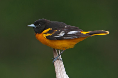 Oriole - Baltimore - male - Dunning Lake, MN - 21