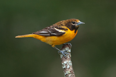 Oriole - Baltimore - female - Dunning Lake, MN - 05