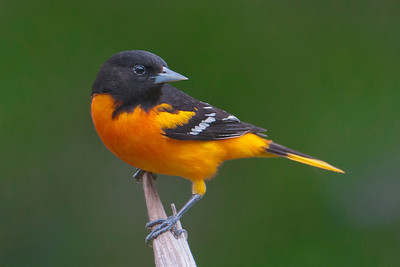 Oriole - Baltimore - male - Dunning Lake, MN - 09