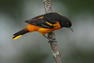 Oriole - Baltimore - male - Dunning Lake, MN - 20