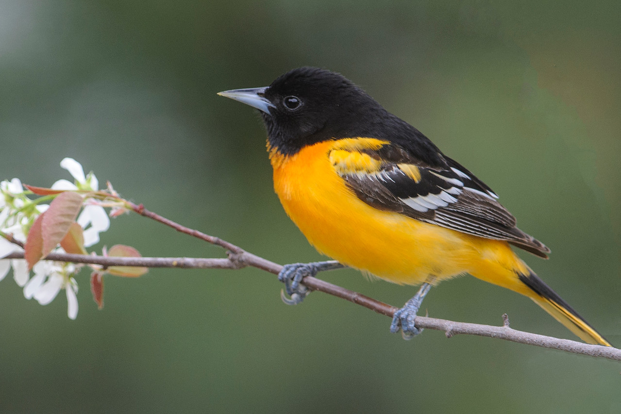 Oriole - Baltimore - male - Dunning Lake - Itasca County, MN