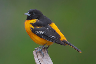 Oriole - Baltimore - male - Dunning Lake, MN - 08