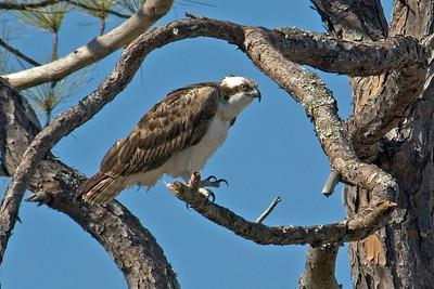 Osprey - Crooked Island, FL