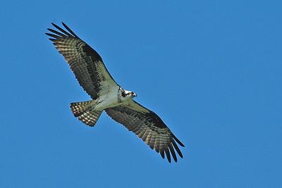 Osprey - Aitken County, MN