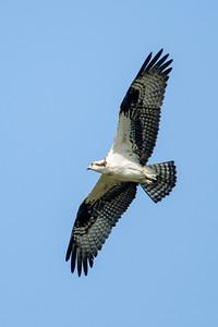 Osprey - Sanibel Island, FL