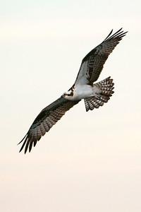 Osprey - Lake Toho - Kissimmee, FL-02