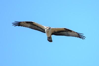 Osprey - Betz-Tiger Creek Preserve State Park - Jacksonville, FL