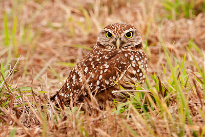 Owl - Burrowing - Cape Coral, FL - 01