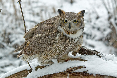 Owl - Great Horned - Alice - (captive) - Houston, MN