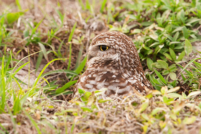 Owl - Burrowing - Cape Coral, FL - 03
