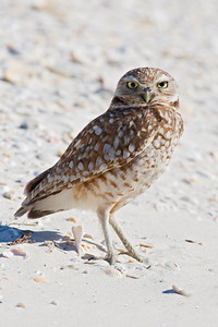 Owl - Burrowing - St. George Island, FL - 01