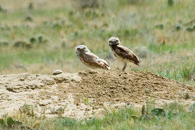 Owl - Burrowing - Pawnee National Grasslands, CO - 01
