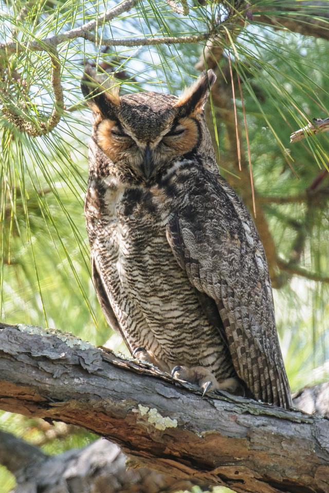 Owl - Great Horned - sleeping - St. George Island State Park - FL