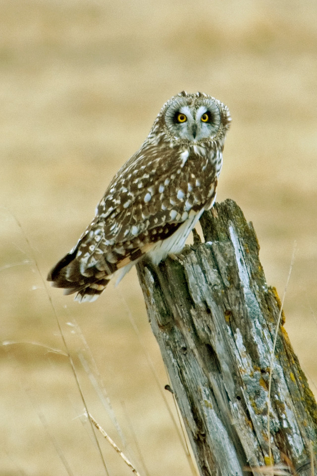 Owl - Short-eared - Rothsay WMA - MN