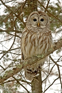 Owl - Barred - Grand Rapids, MN