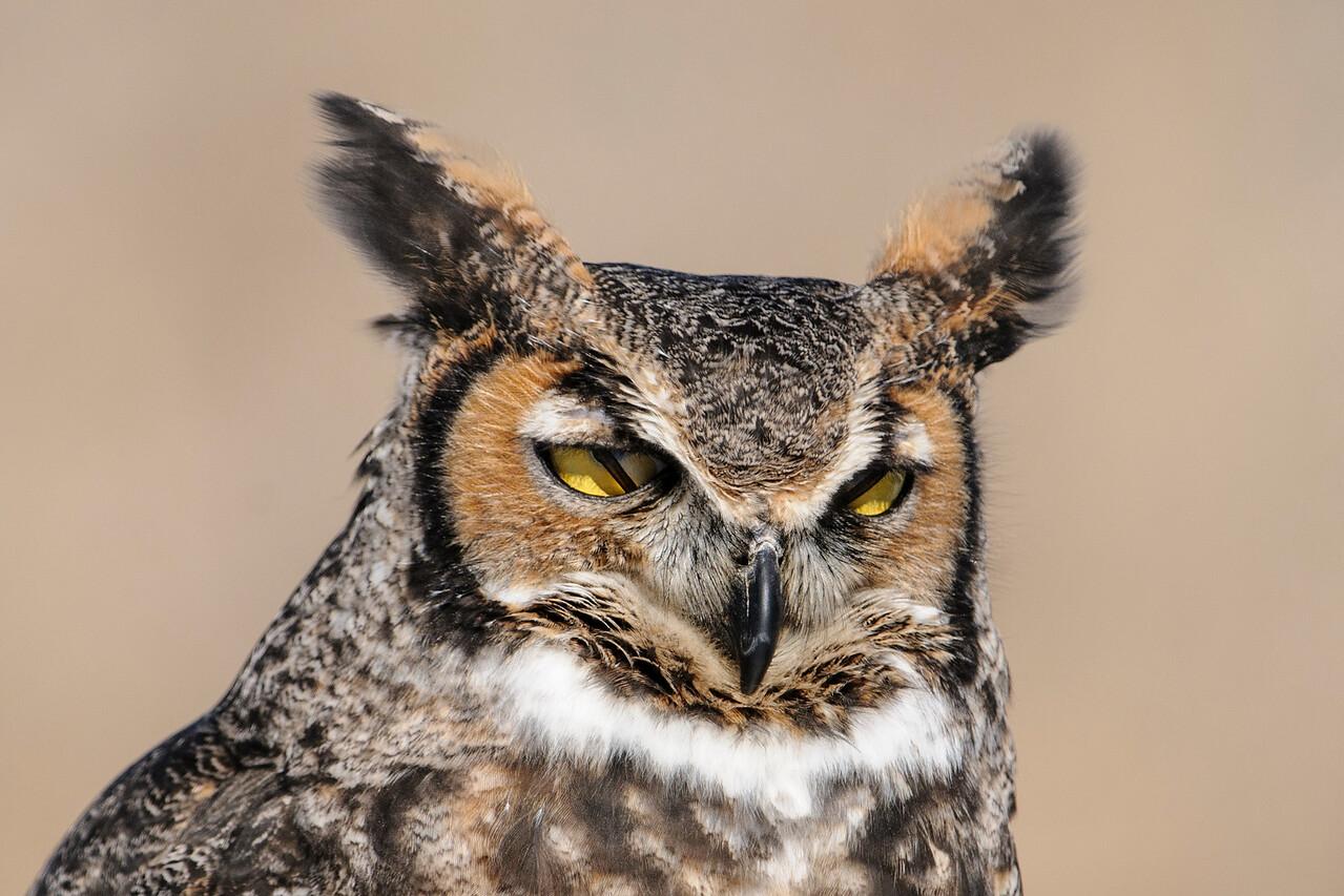Owl - Great Horned - International Owl Festival - Houston, MN