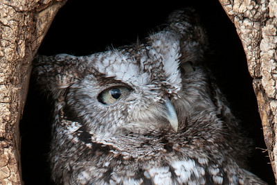 Owl - Eastern Screech - Gray Phase - (captive) - Houston, MN - 01