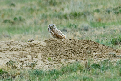 Owl - Burrowing - Pawnee National Grasslands, CO - 03
