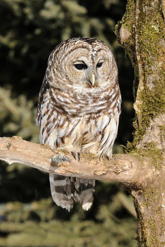 Owl - Barred - International Owl Festival - Houston, MN