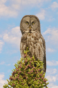 Owl - Great Gray - Itasca County Road 72 - MN - 01