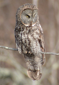 Owl - Great Gray - Itasca County, MN