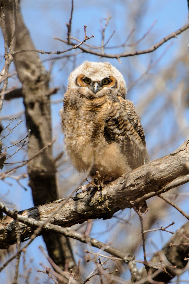 Owl - Great Horned - juvenile - Silverwood Park - St. Anthony, MN